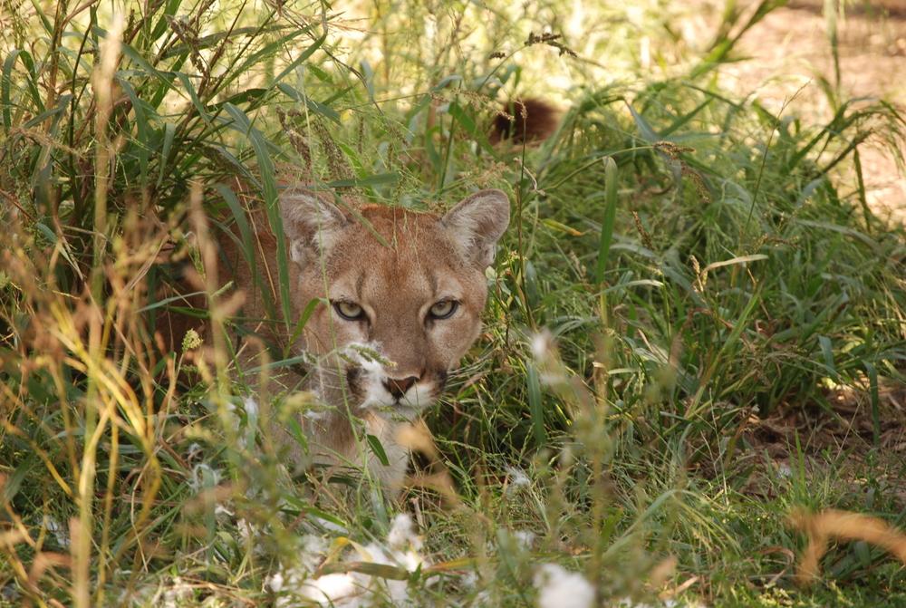cougar-wsc-minnesota-5.JPG