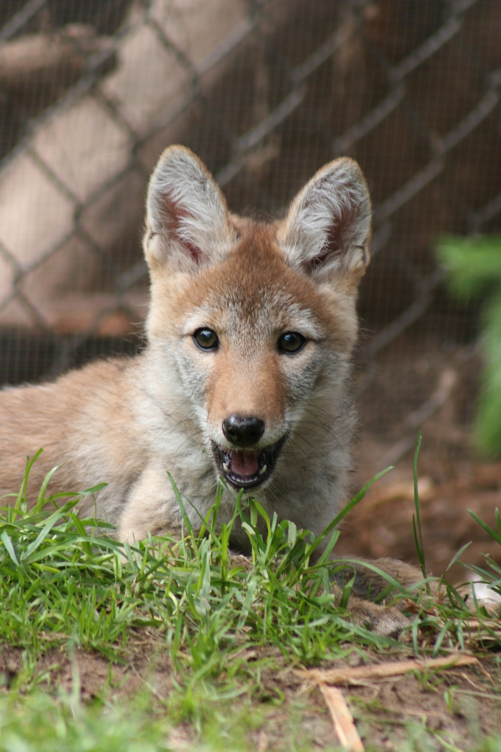 baby coyotes for sale - HD1000×1500