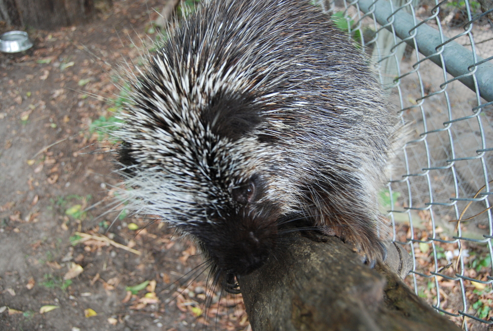 porcupine-minnesota-WSC-tree-view.JPG