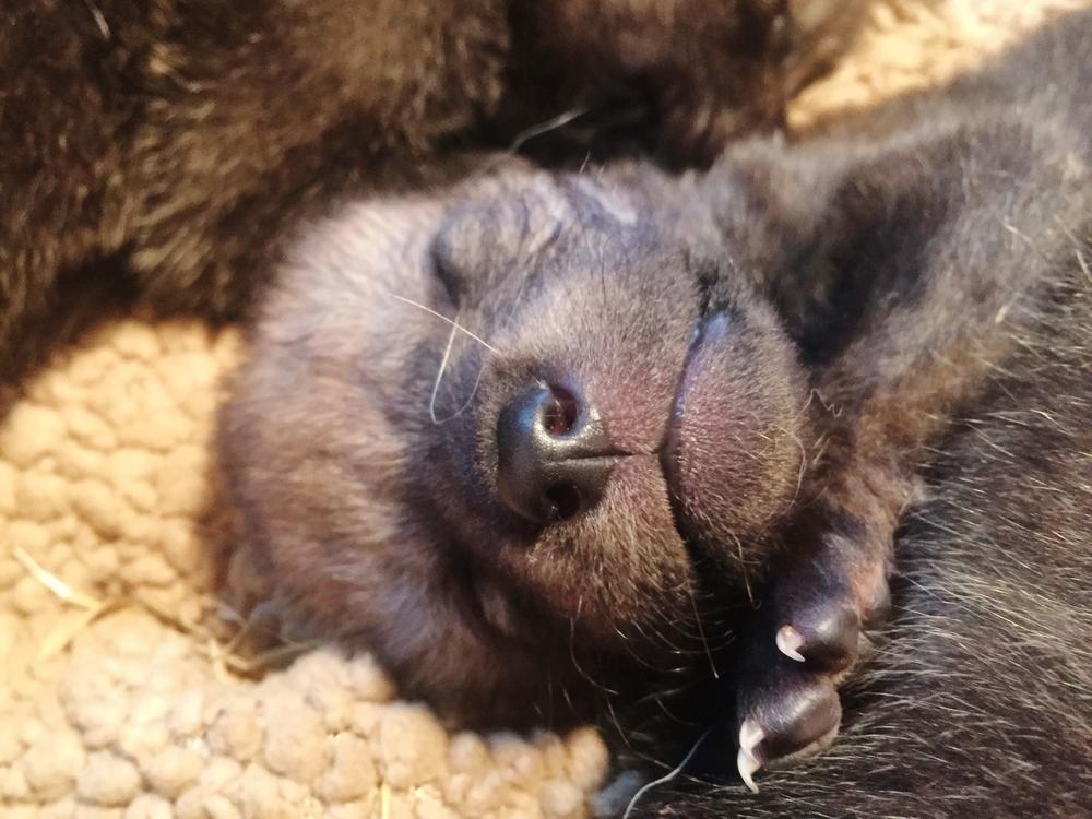 Sleepy wolf pup!