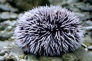 ~~~sea urchin