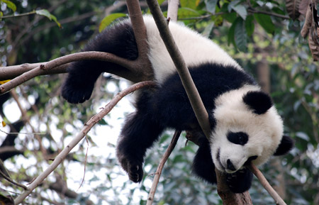 MillicentHawk.panda