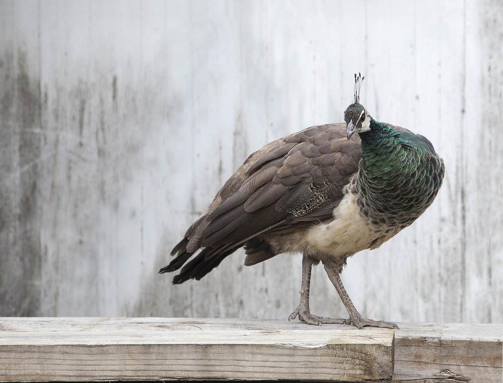 Preacock
