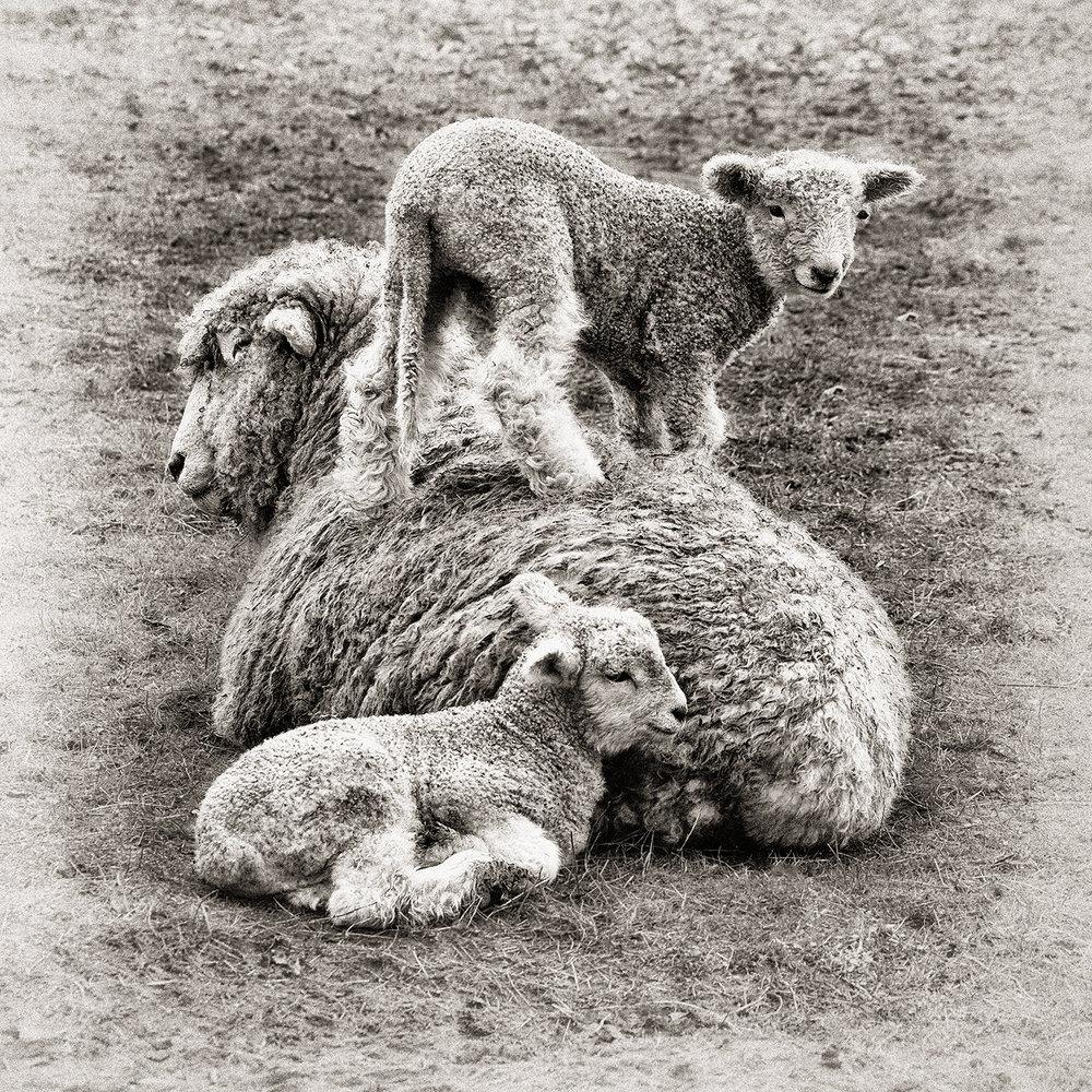 Lambs & Mother.jpg