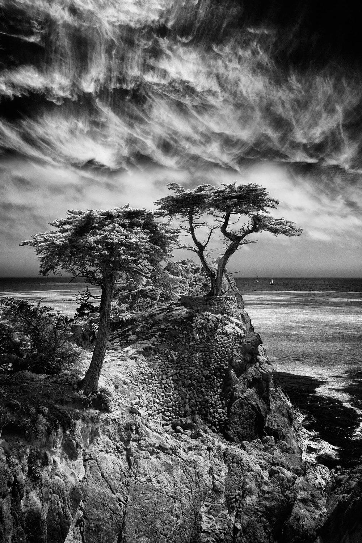 Monterey Cypress.jpg