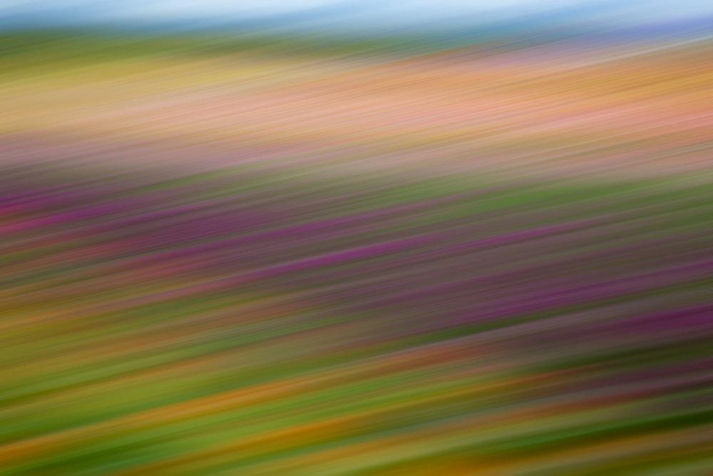 Tulips 5462.jpg