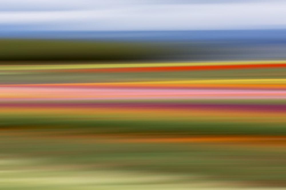 Tulips 6591.jpg