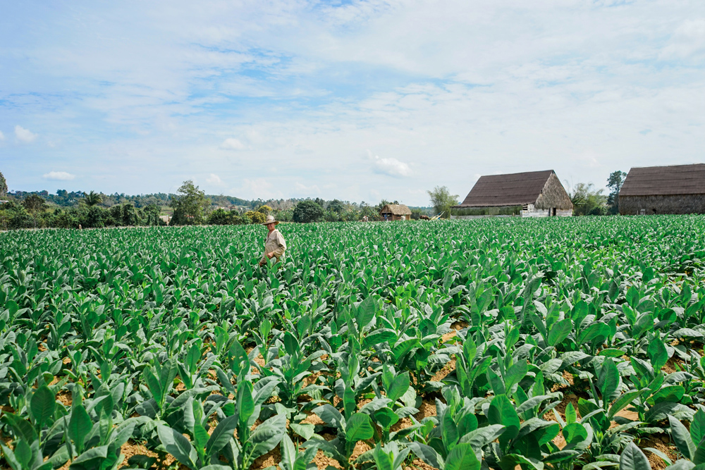 cuba_tobaccofarm-8.jpg