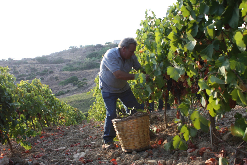 Hand_harvesting_wine_grapes_in_Sicily.jpg