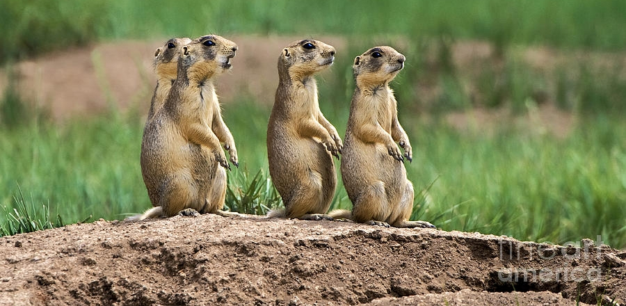 utah-prairie-dogs-cynomys-parvidens-wild-bryce-canyon-dave-welling.jpg