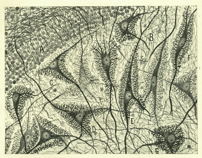 an image from  Cajal's Butterflies of the Soul: Science an Art , a book Ed Kerns let me borrow