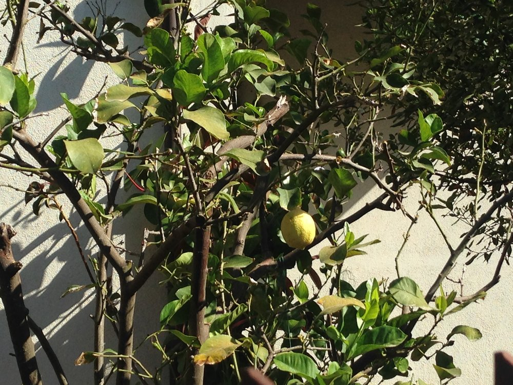 Lemon tree in someone's yard in Civita Castellana, Italy…