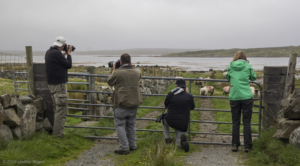 Photographers vs. Sheep