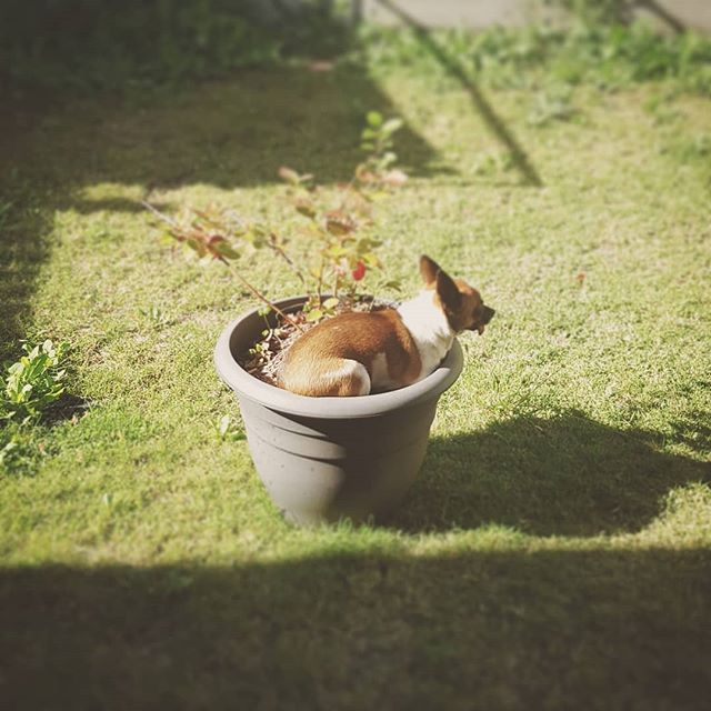 While I admit my new digs doesn't have a big backyard like the last house, I vehemently object to being given shit about it by my dog, Peppa.  #instadogs #dogsofinstagram #chihuahuasofinstagram #pothead #designer #graphic #design #brand #branding #branddevelopment #branddesign #graphicdesign #toowoombaregion #toowoombabusiness #toowoomba #queensland