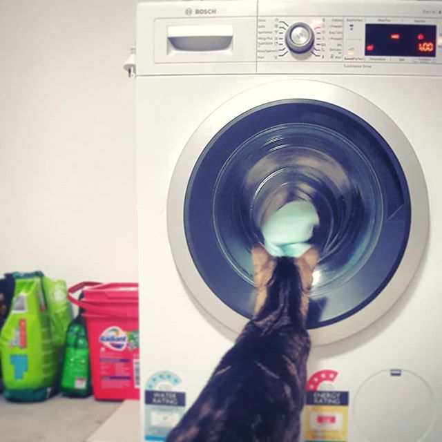 Since moving house and studio, there's been a whole lot of #firsts. Given we've always had an outdoor laundry, and an indoor cat; the two had never met. This was the moment our cat, Milo saw her first washing machine... #creativore #cool #cat #milo #cats #catsofinstagram #catstagram #caturday #dirty #laundry #dirtylaundry #graphic #graphicdesign #graphicdesigner #branding #branddevelopment #brand #design #webdesign #printing  #print #management #seo #eco #ecodesign #pet #friendly