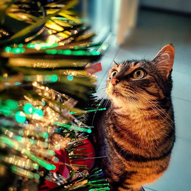 She is the reason the season doesn't go up until JUST before Christmas... #milo #catlove #instacat #christmas #christmascat #catstagram #catsofinstagram #creativore