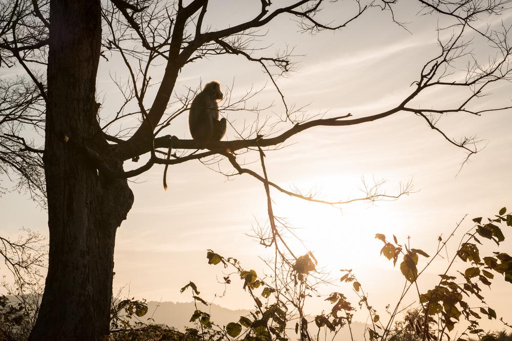 A monkey surveys the area at the Corbett Tiger Reserve - Ramnagar, India.