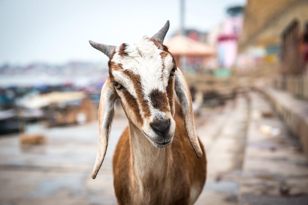 A friendly goat - Varanasi, India.