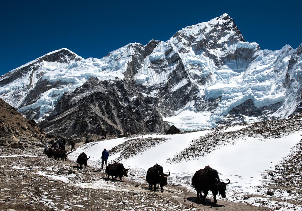 Yaks follow in a single line below Mt Nuptse, a tibetan word meaning 'west peak - Khumbu Region, Nepal.