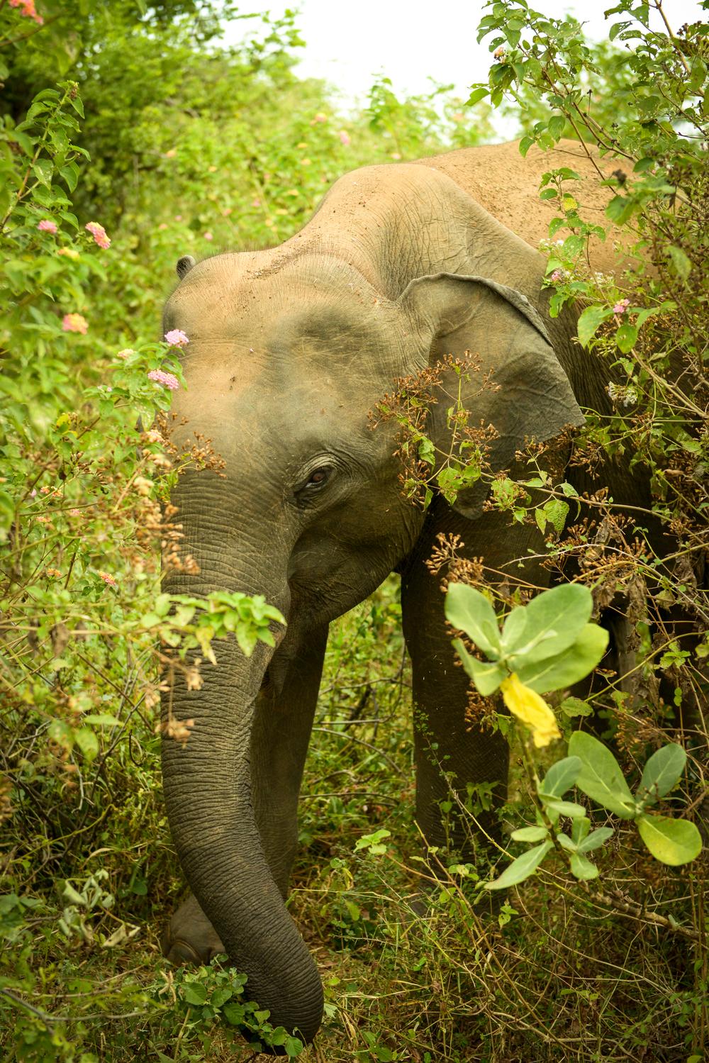 An elephant grazes in Unawatuna national park.