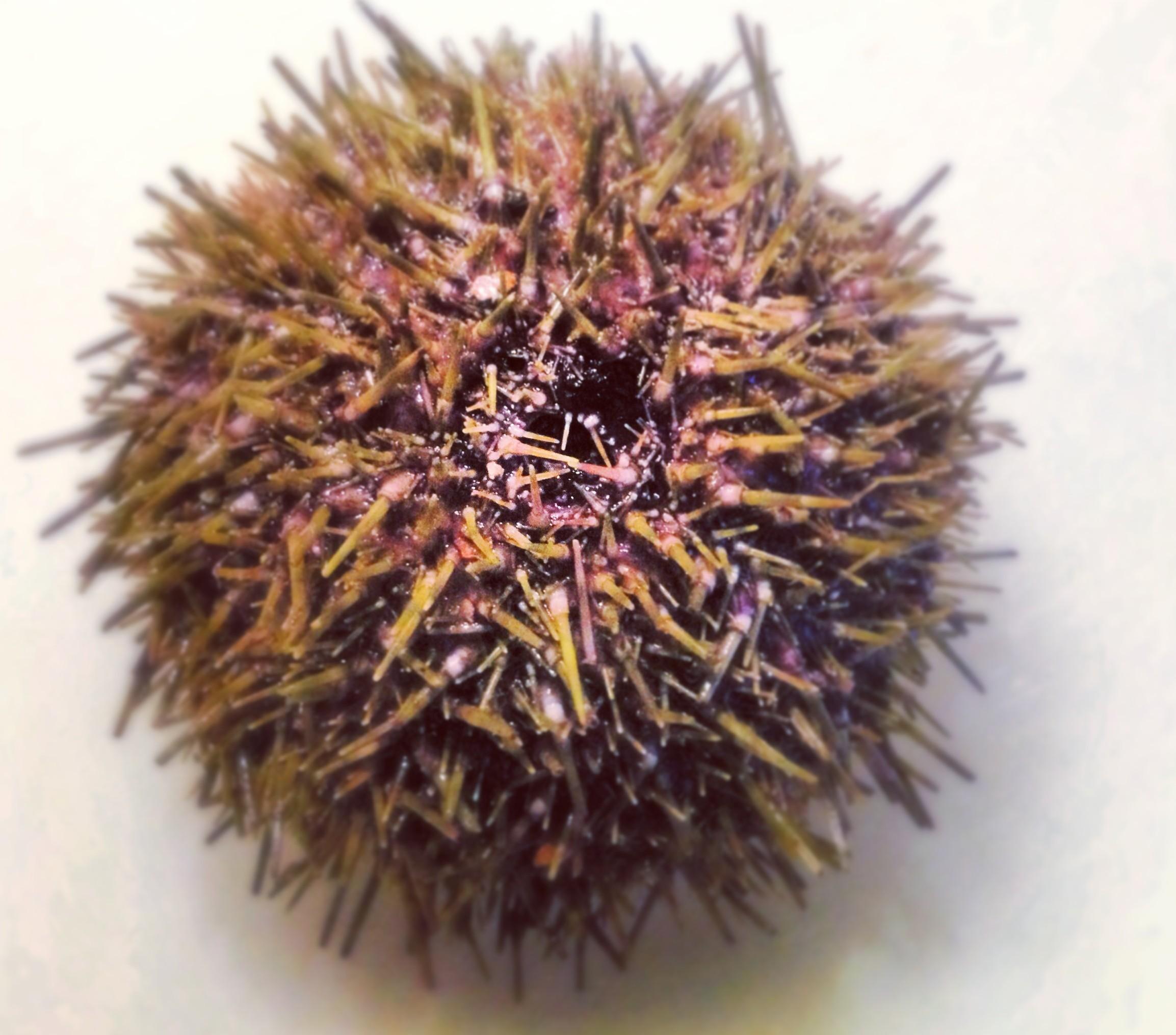 Beautiful whole sea urchin
