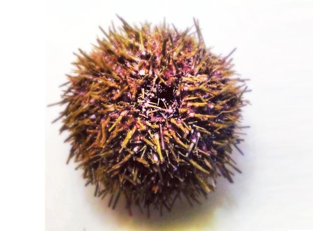 urchin-wide.jpeg