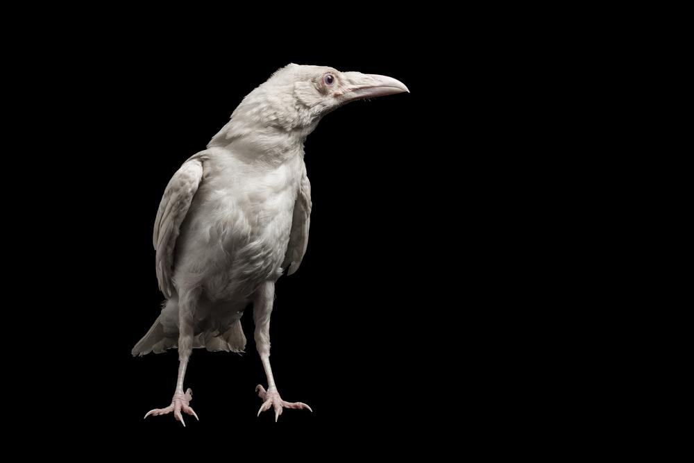 Pearl the Albino Raven, 2014
