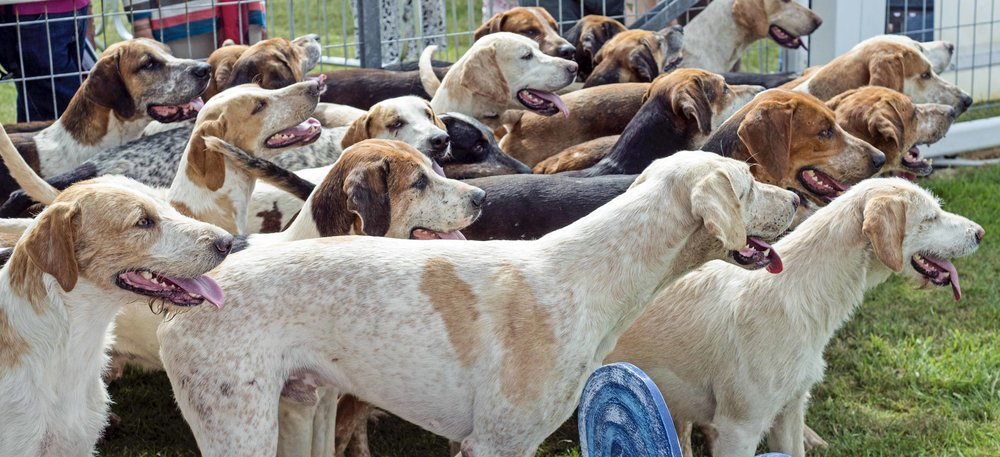 6. Fox Hounds, Royal Cornwall Show.jpg