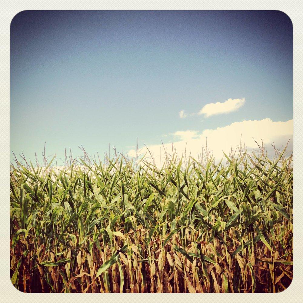 Illinois cornfield near my hometown