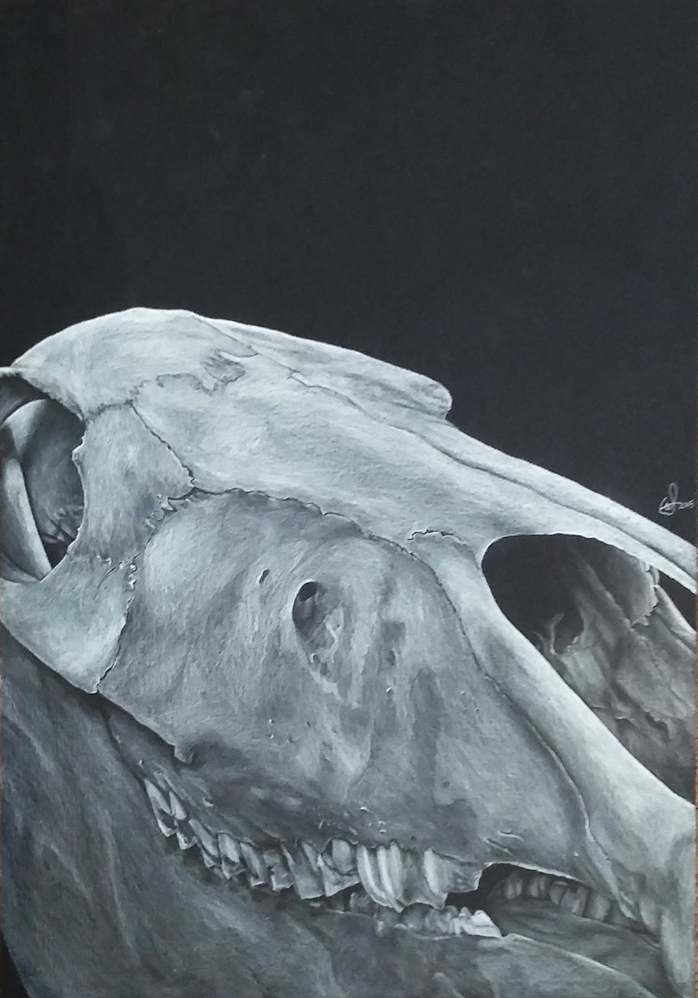 Gregory Stock  'Horse Skull'  Pencil on paper  42 x 29,7 cm