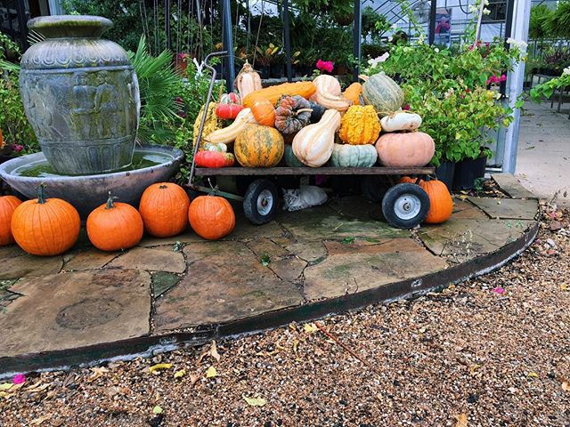 Can you spot our kitten, Fern? • • • • #homesleysnursery #homesleys #nursery #gardencenter #autumn #fall #pumpkins #fernathomesleys #fernthecat #fern #orange #prettypumpkins