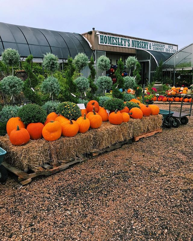 Mums, Pumpkins, Gourds, & Hay!  We're so excited to see the mums opening up and beginning to bloom!! It's beginning to look a lot like Autumn...that's the lyric, right? • • • • • #homesleysnursery #homesleys #nursery #gardencenter #forney #forneytx #dallas #dallastx #texas #pumpkins #mums #autumn #autumndecor #fall #falldecor #orange #hay #riseandshine #prettypumpkins #pretty #earlymornings