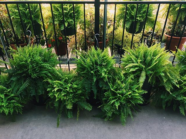 It's a Fern  E X T R A V A G A N Z A ! ! 😺🌿💫💕 In honor of our cat, Fern, having kittens, 12 inch Hanging Basket Ferns are now on  S A L E  for $14.99 (originally $19.99)!! Stop by & see these kittens when you come in and get your celebratory Hanging Basket Fern!😺🌿💫💕 • • • • • #homesleysnursery #homesleys #homesley #nursery #plants #fern #fernathomesleys #fernthecat #cat #dfwcats #dfw #forney #forneytx #dallastx #texas #tx #northtexas #dfwlandscaping #dfwlandscape #garden #hangingbasket #pretty #green #plantsale #sale #celebration
