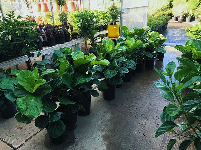 Fiddle Leaf Figs are HERE!!! Beautiful stock of these lush houseplants, just in time for the holiday weekend!  Stop by and grab one as a gift or for yourself while we've got em! 🤗 • • • • #homesley #homesleys #homesleysnursery #nursery #plants #houseplants #dfw #dallas #forney #northtexas #forney #houseplantsofinstagram #fiddleleaffig #greenplants #easter #easterweekend #giftideas