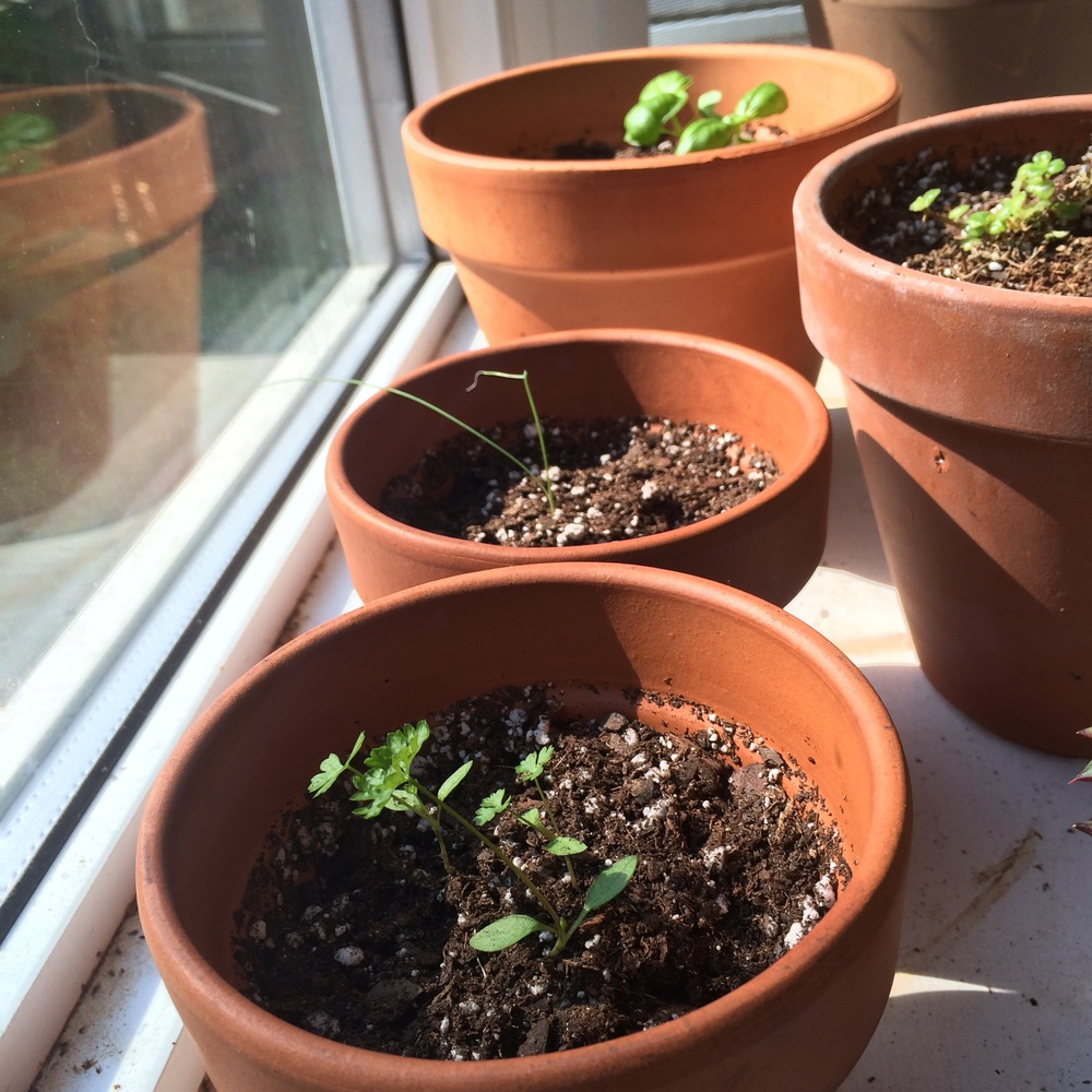 My little herbs are growing!!