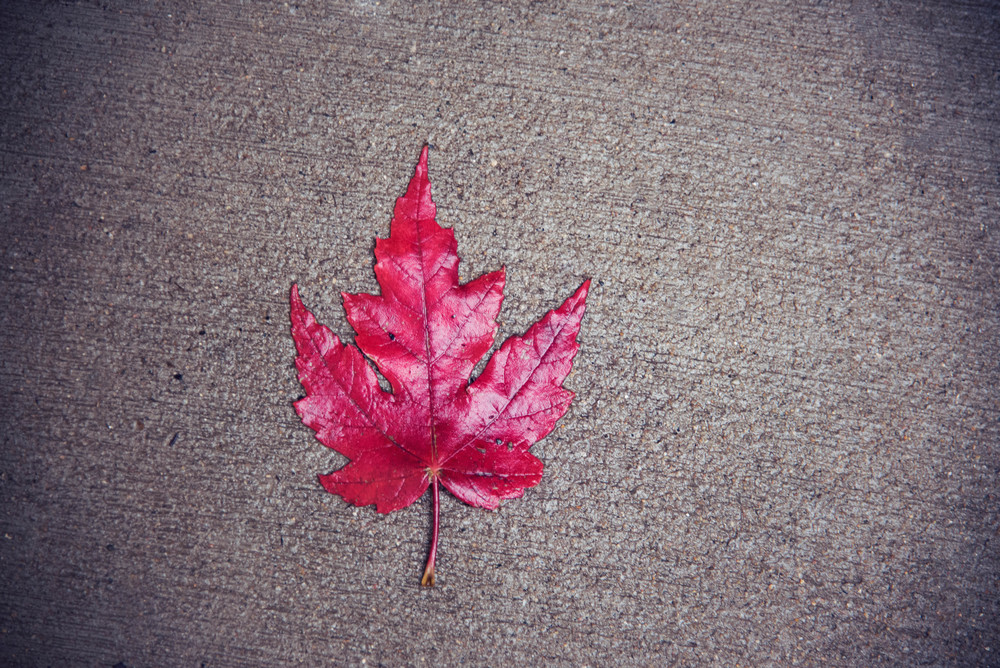 fall maple leaf.jpg