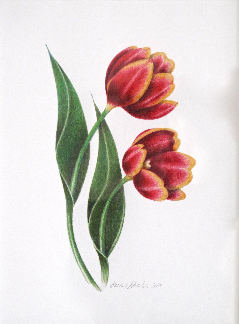 Susan Skoorka, Tulips