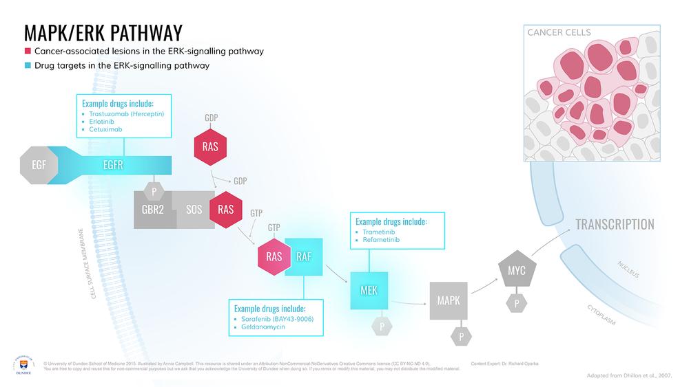 MAPK-ERK_Pathway_Drug_Targets.png