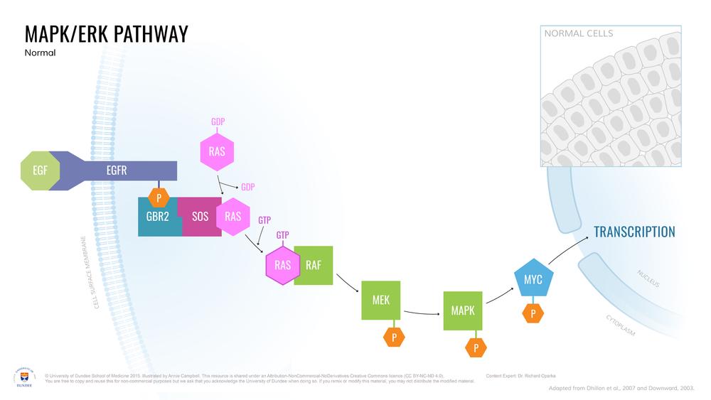 MAPK-ERK_Pathway_Normal-01.png