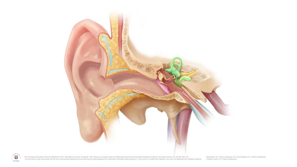 Ear Anatomy Medical Illustrations Campbell Medical Illustration