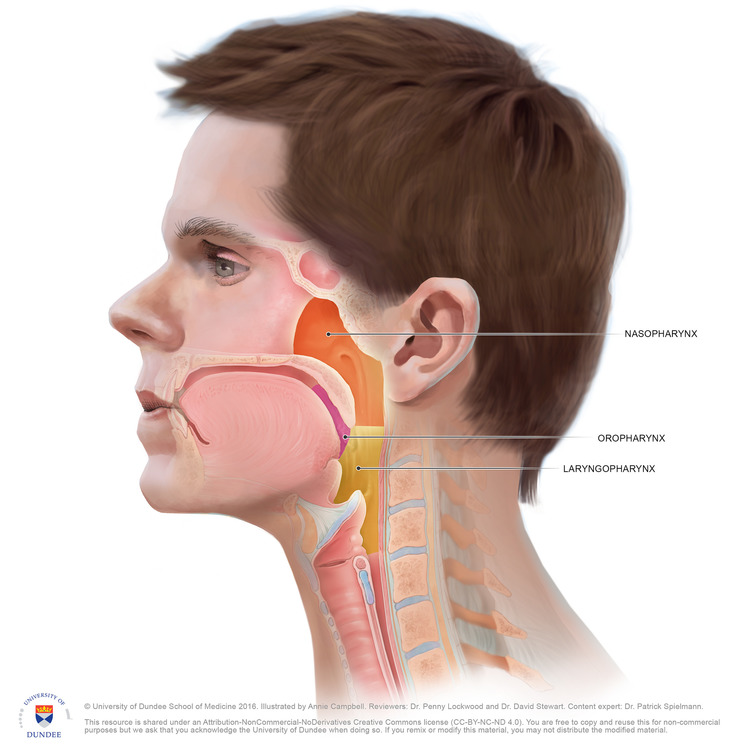 Anatomy of the Pharynx Medical Illustrations — Campbell Medical ...