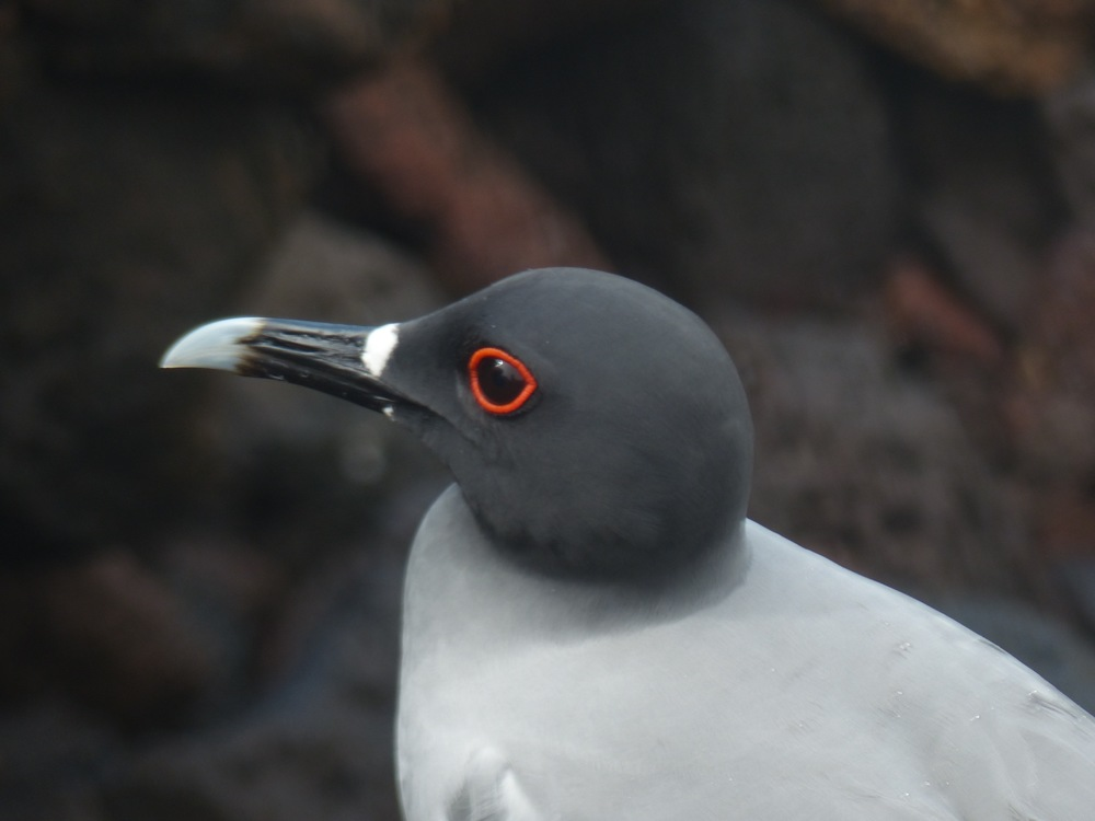 A lava gull on San Cristobal