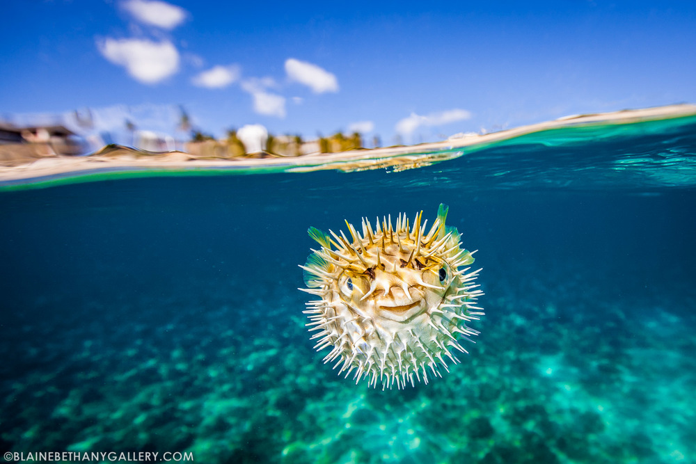 """On Defense"" - Porcupine pufferfish in Baja California, Mexico"