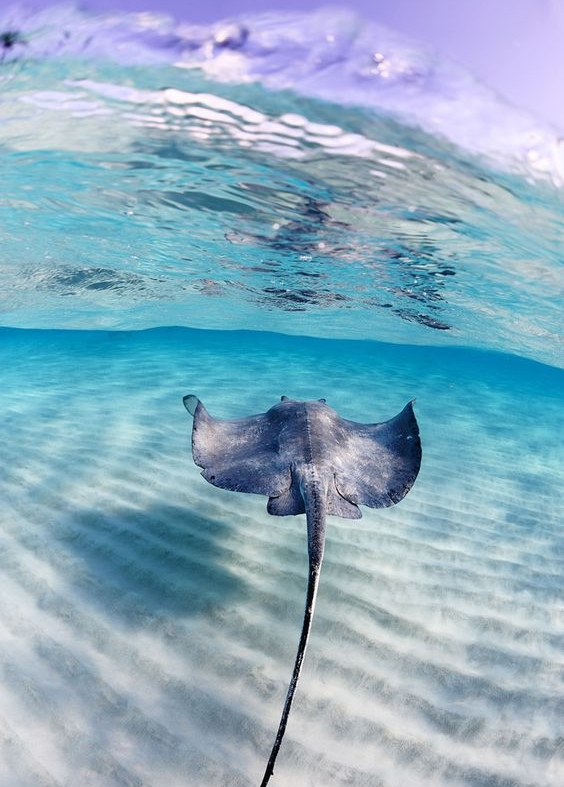 Sting ray swinging next you and came to shallow shore line to eat food out of the our hands in total nature, the creatures are tamed. They know you are not here to harm them, so they swing silently around you while you feed them raw conch.