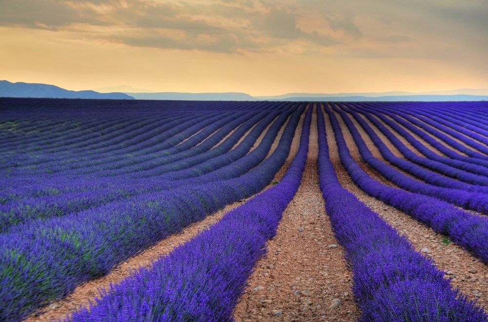 A lavender field in Provence, photo credit