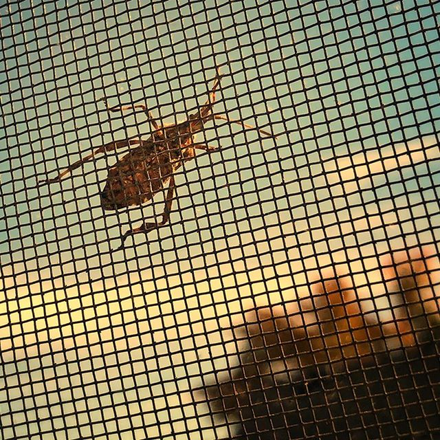 Bug on the window screen watching the sunset.  #bug #beetle #windowscreen #sunset #fall #autumn #hangingon #bluesky #insidelookingout #air #bugs #beetles #insect #iphone8plus #snapseed #evening #suspended