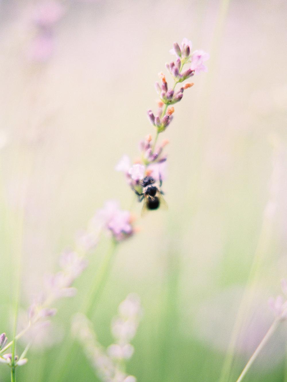 Kerri+Austin+Lavender+Field+Engagement-27.jpg