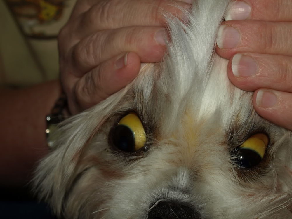 dog-jaundice-eyes.jpg