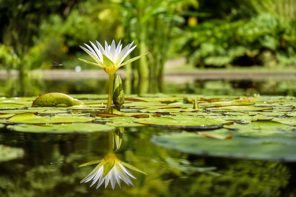 water-lily-1857350_1920.jpg