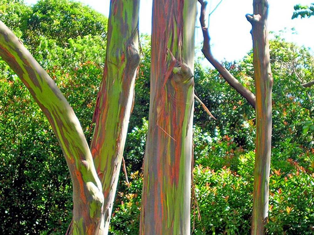 Eucalyptus_deglupta.jpg